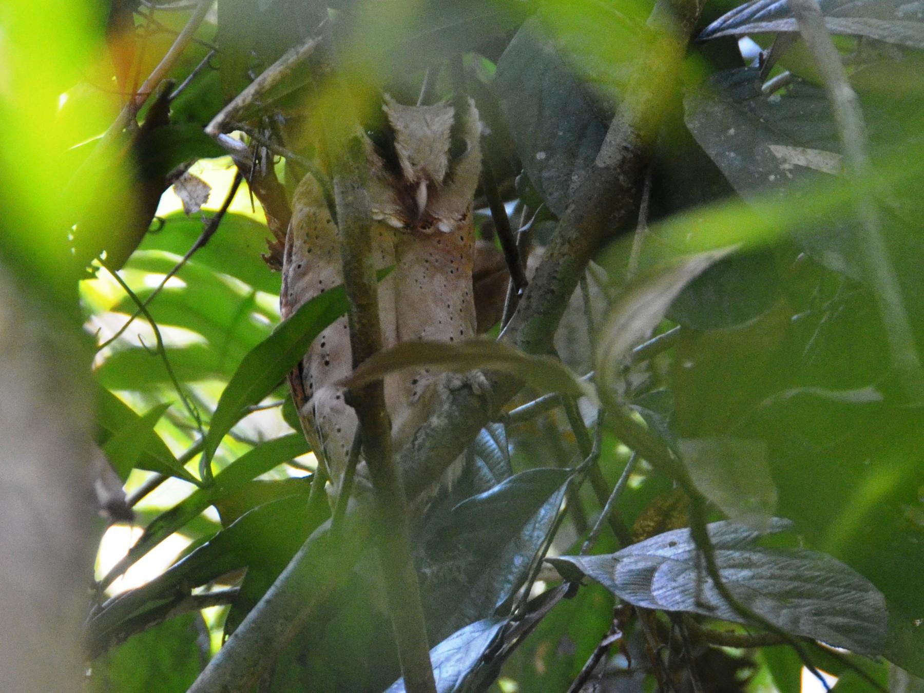 Sri Lanka Bay-Owl - Bruce Wedderburn