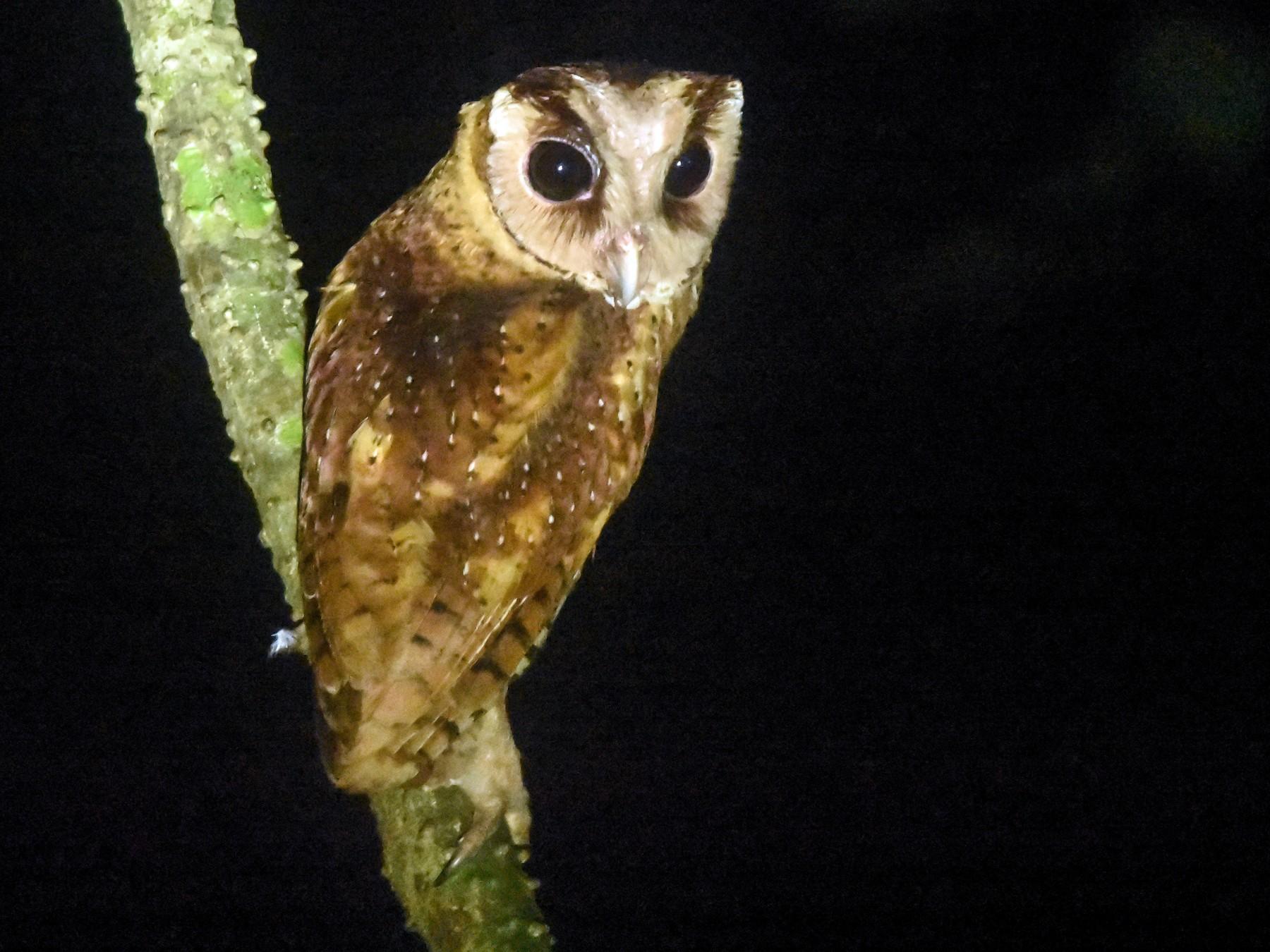 Sri Lanka Bay-Owl - Daniele Mitchell