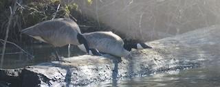 Canada Goose, ML145718891