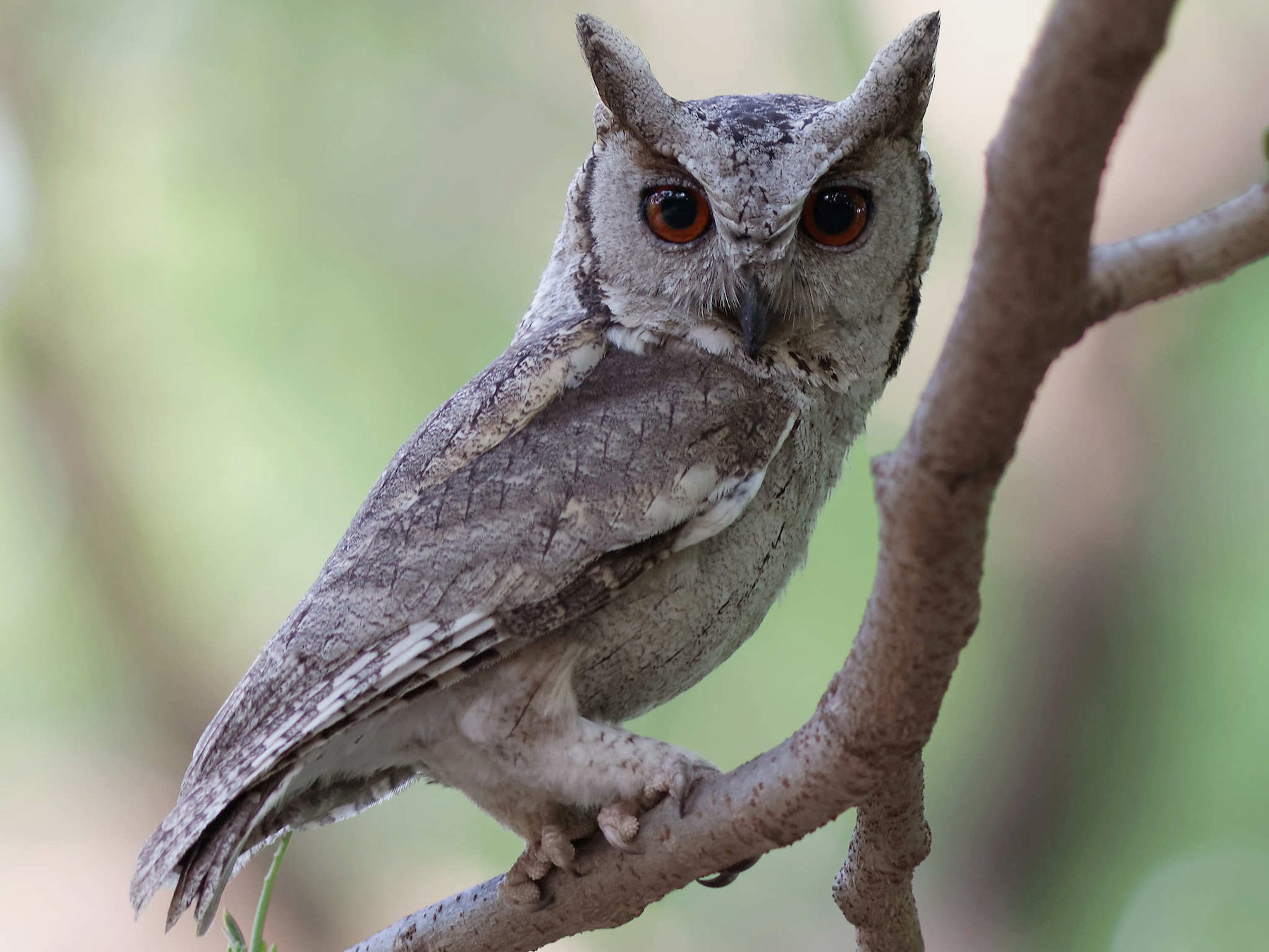 Indian Scops-Owl - Able Lawrence