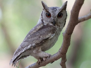 - Indian Scops-Owl