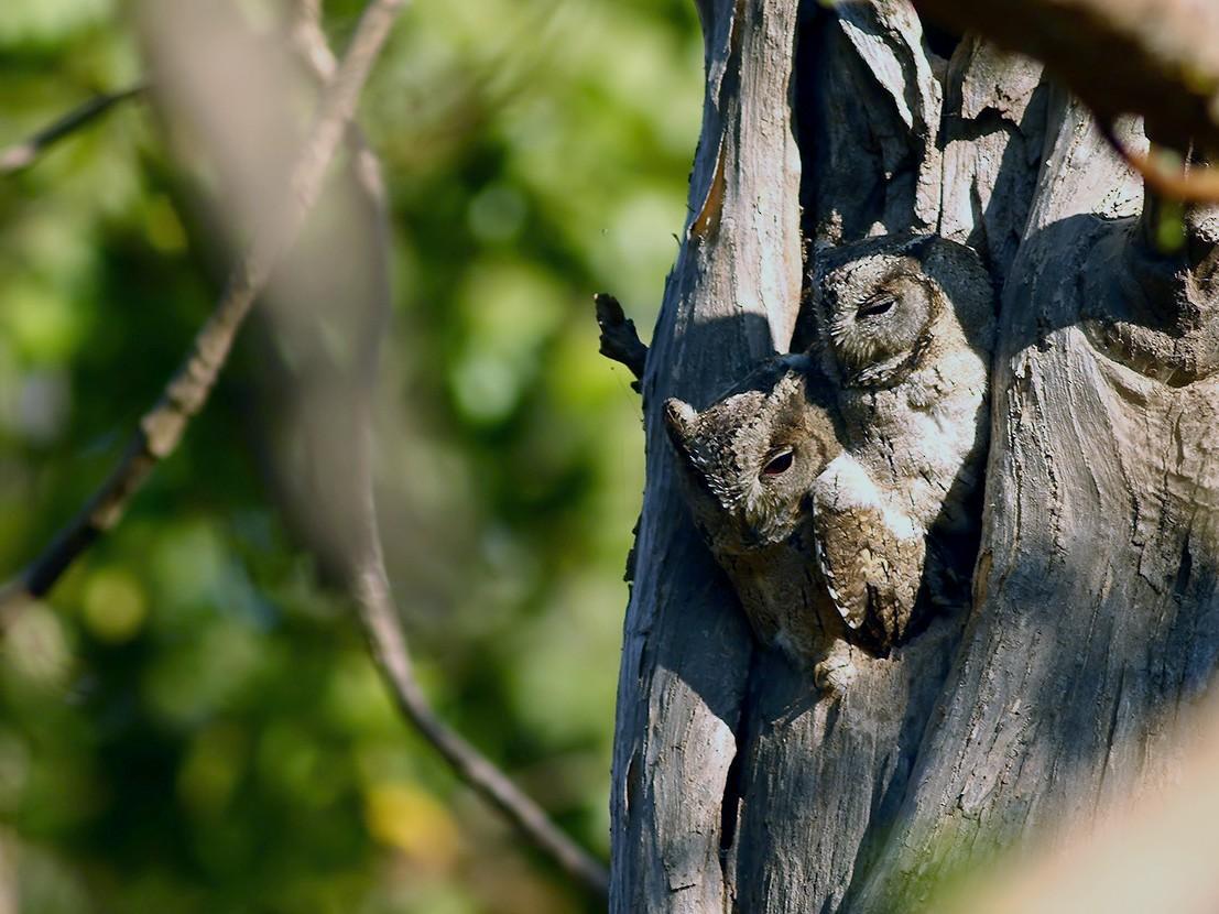 Indian Scops-Owl - Aditya Roy