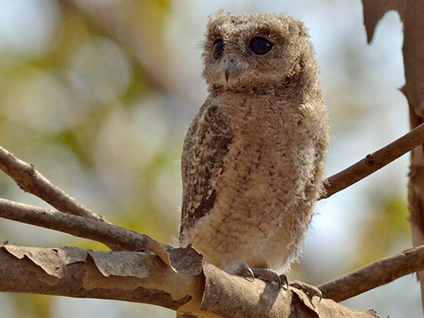Indian Scops-Owl - Vaidehi  Gunjal