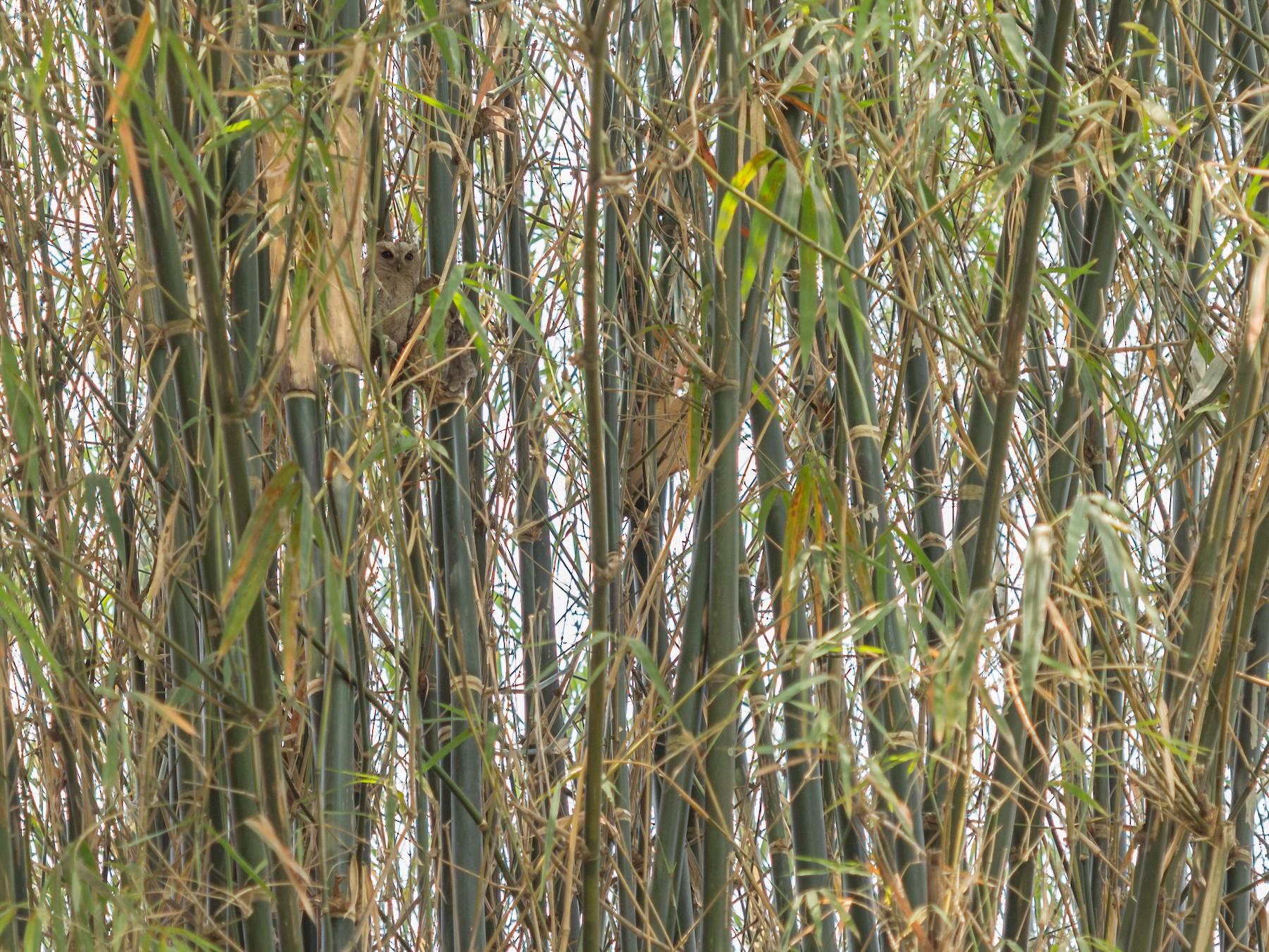 Indian Scops-Owl - Ramit Singal