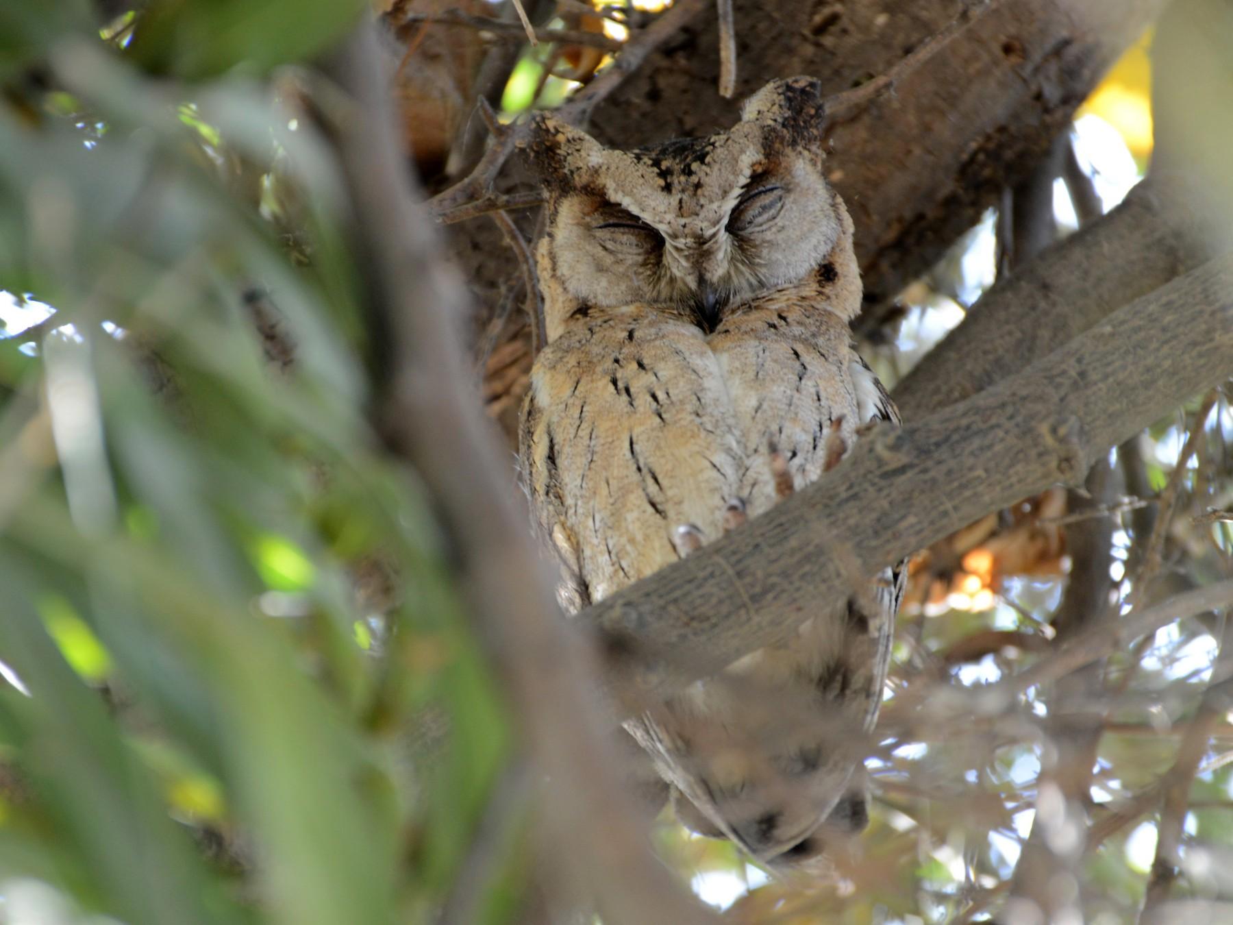 Indian Scops-Owl - Timothy Lloyd