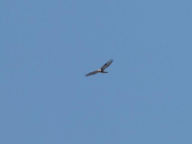 ©Anonymous eBirder - Rough-legged Hawk