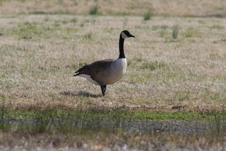Canada Goose, ML145867361