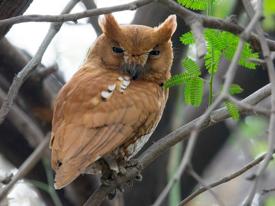 Oriental Scops-Owl - Harshil Sharma