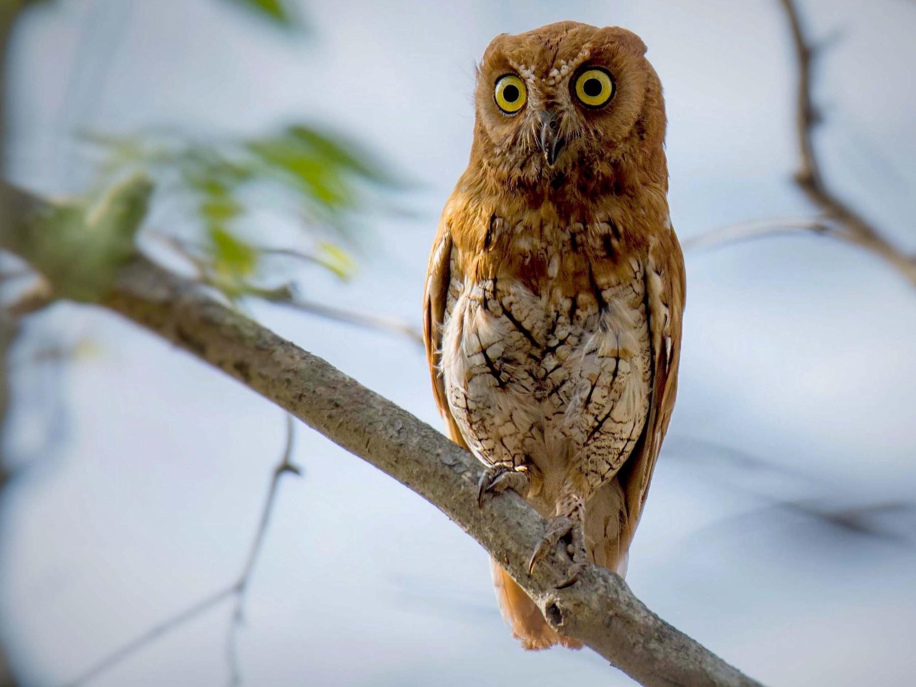 Oriental Scops-Owl - Pramod Dhal