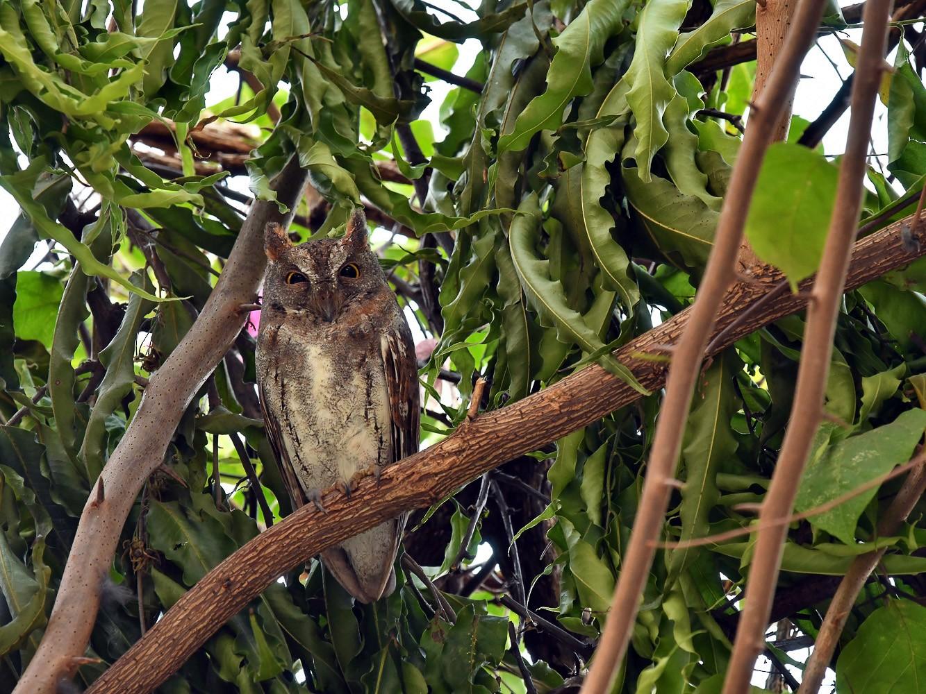 Oriental Scops-Owl - Pattaraporn Vangtal