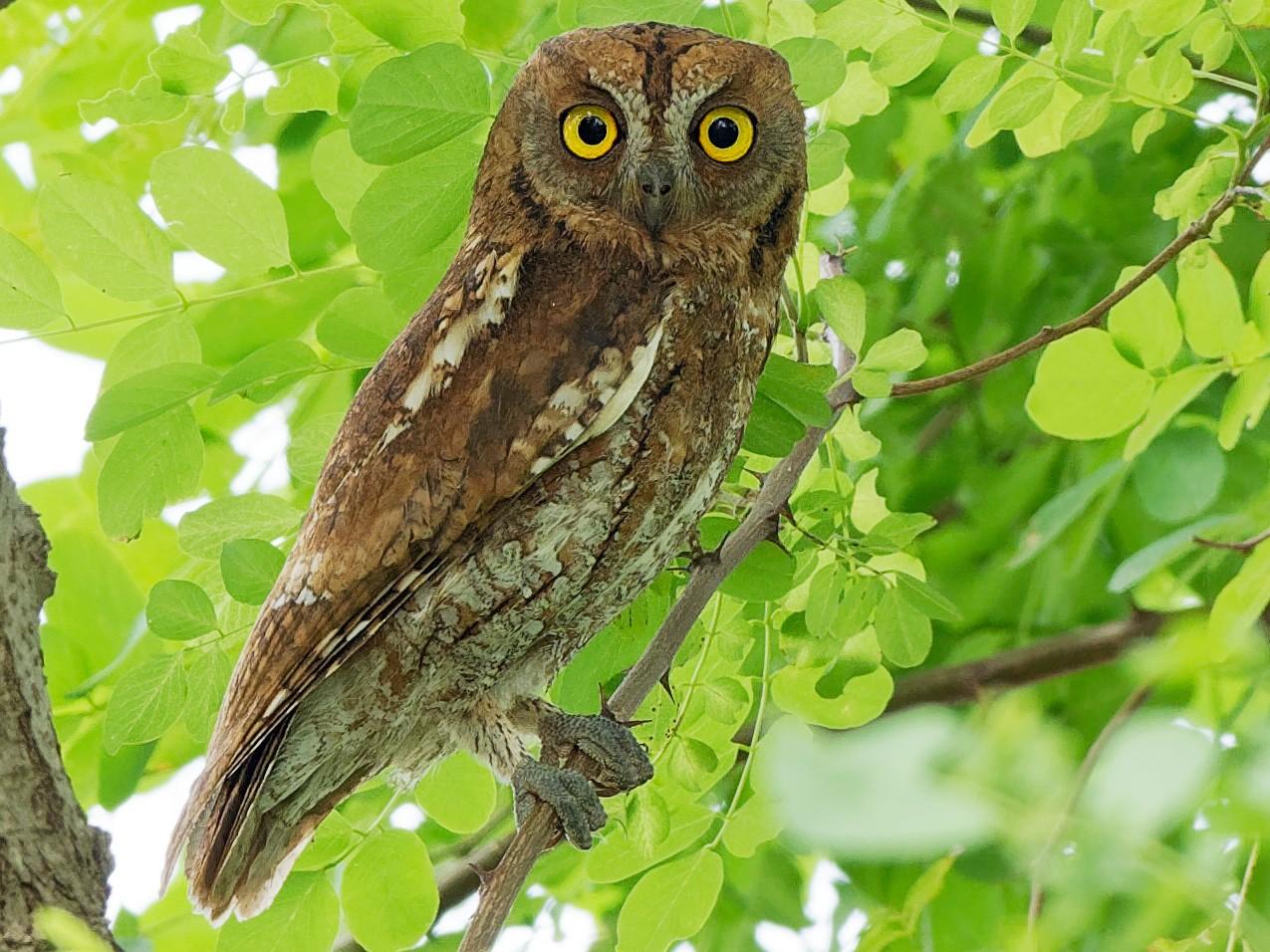 Oriental Scops-Owl - Vincent Wang