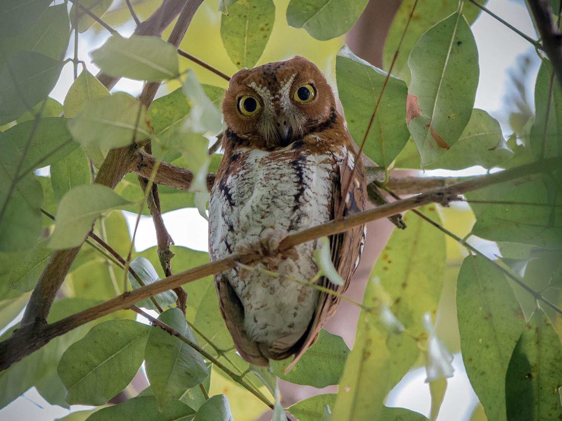 Oriental Scops-Owl - Adrian Silas Tay