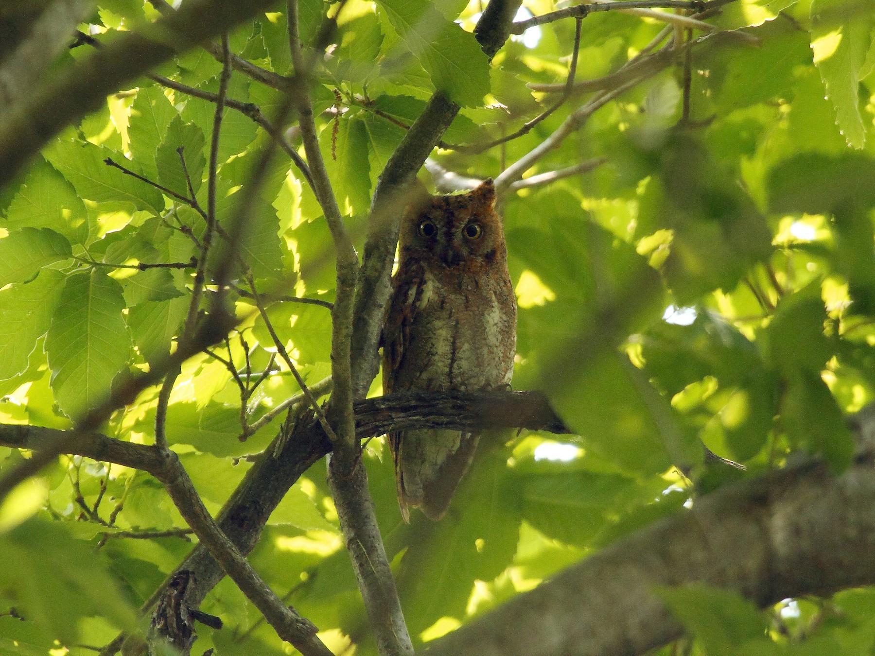 Oriental Scops-Owl - Patrick J. Blake
