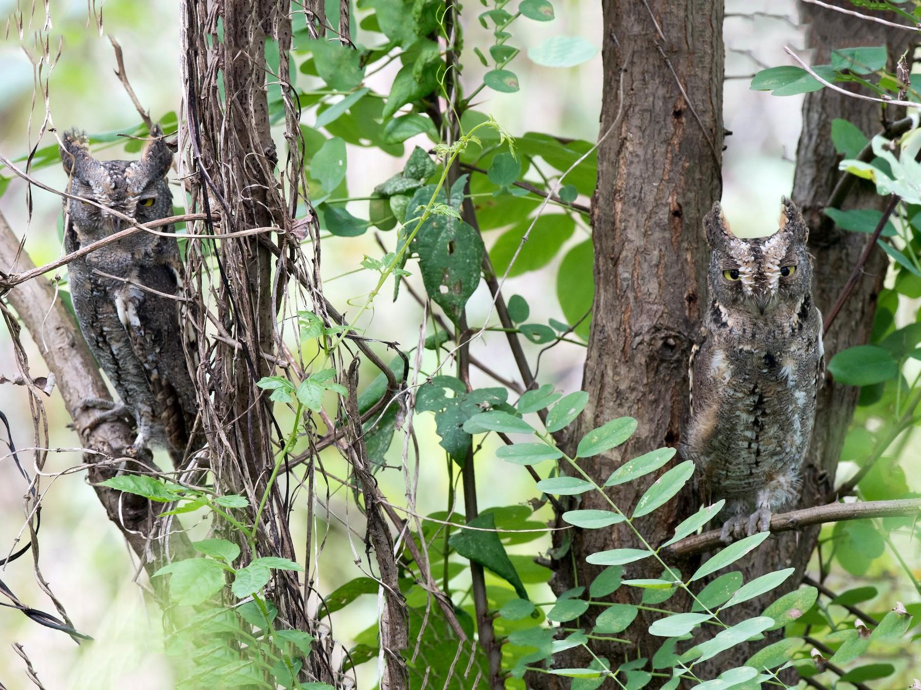 Oriental Scops-Owl - Kai Pflug