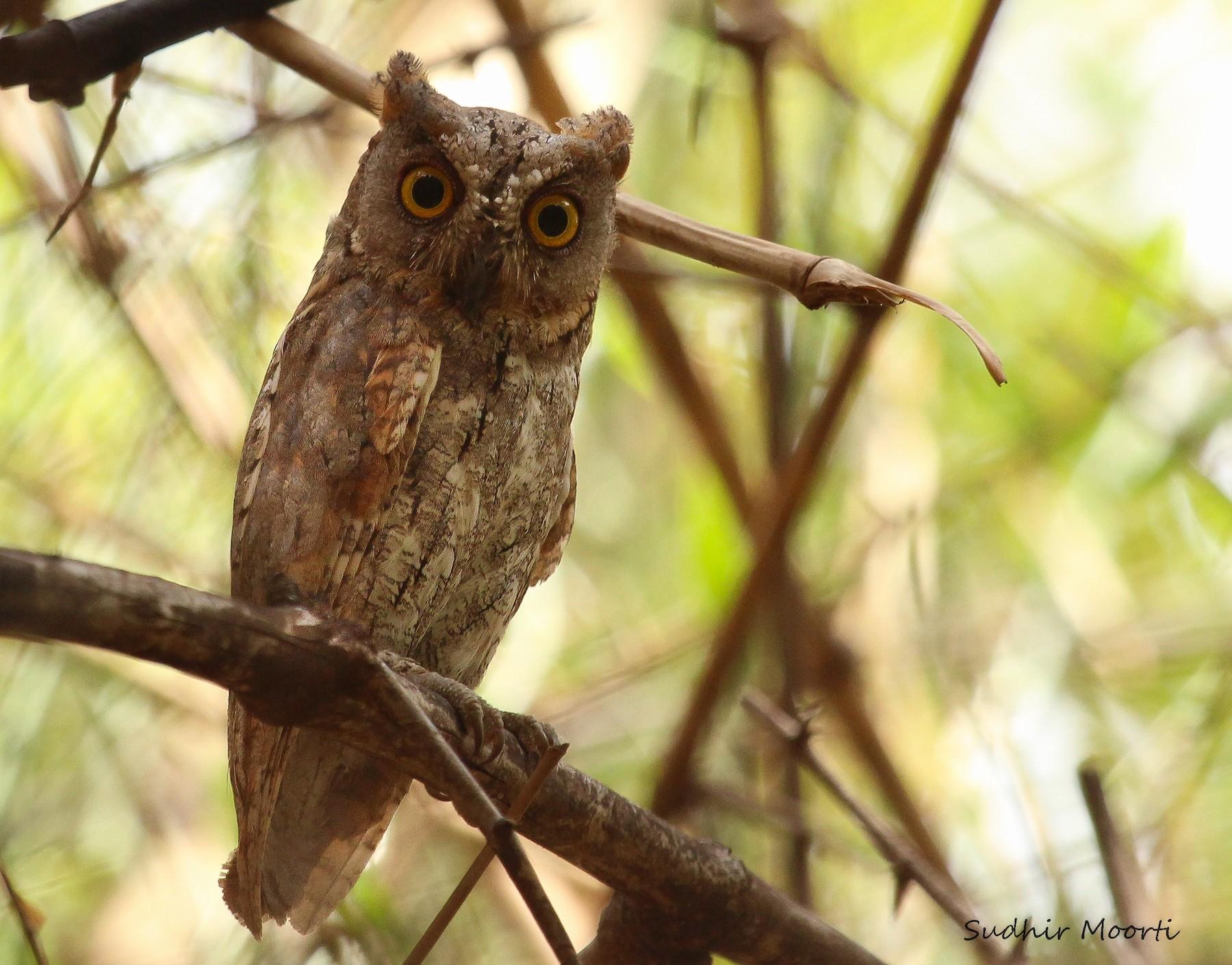 Oriental Scops-Owl - Sudhir Moorti