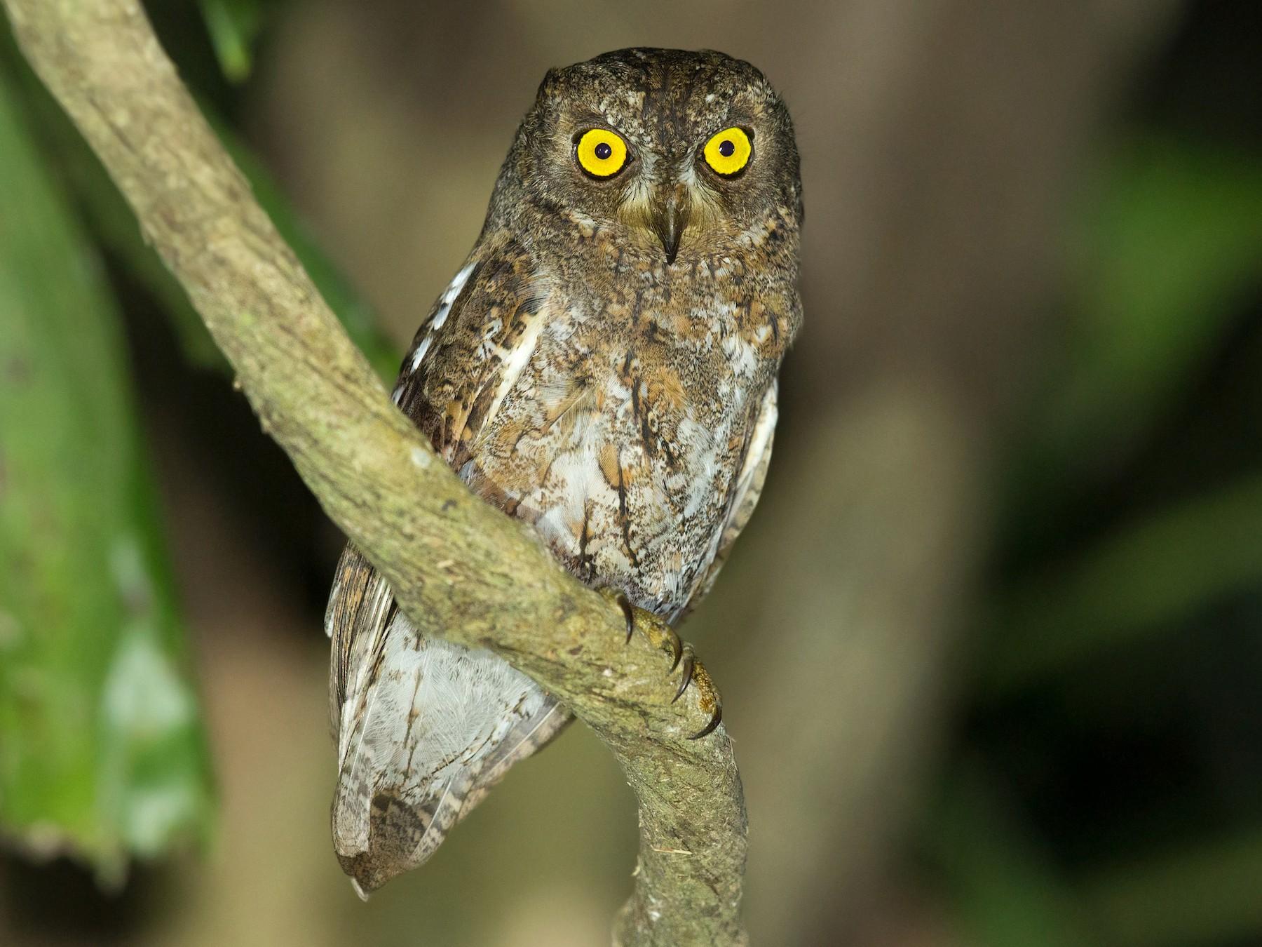 Oriental Scops-Owl - David Irving