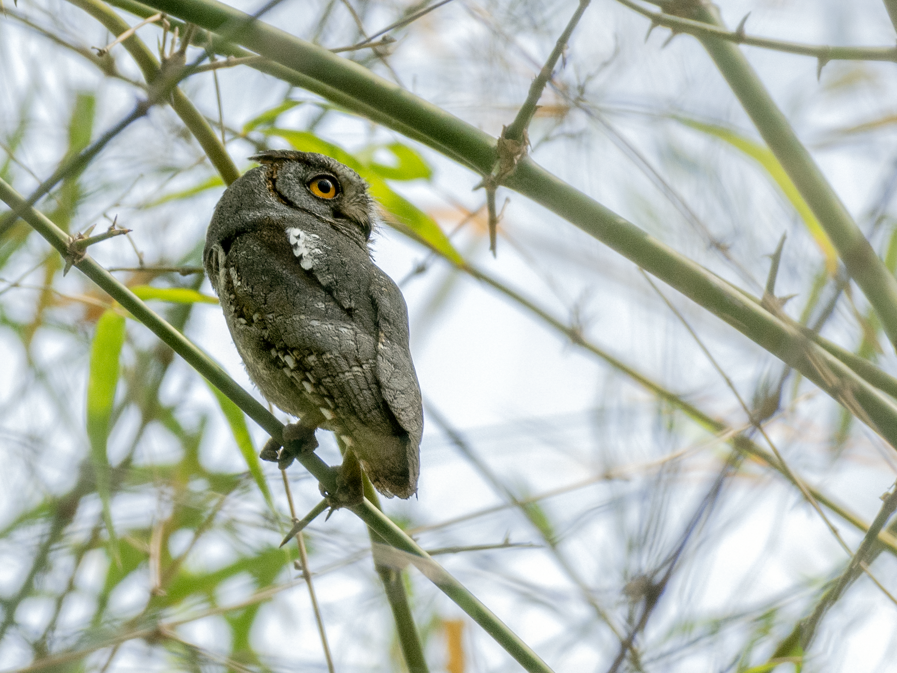 Oriental Scops-Owl - Fareed Mohmed