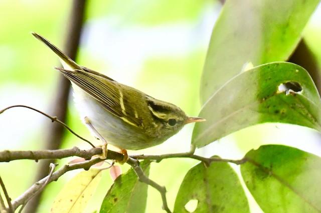 Blyth's/Claudia's/Hartert's Leaf Warbler