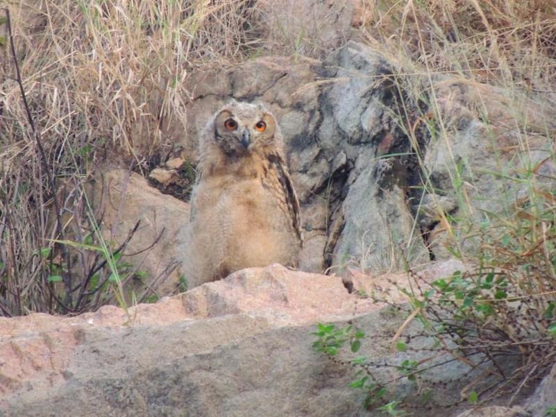 Rock Eagle-Owl - S ~ V I S H N U  S A N K A R