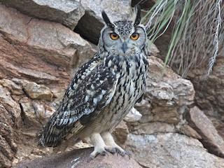 - Rock Eagle-Owl
