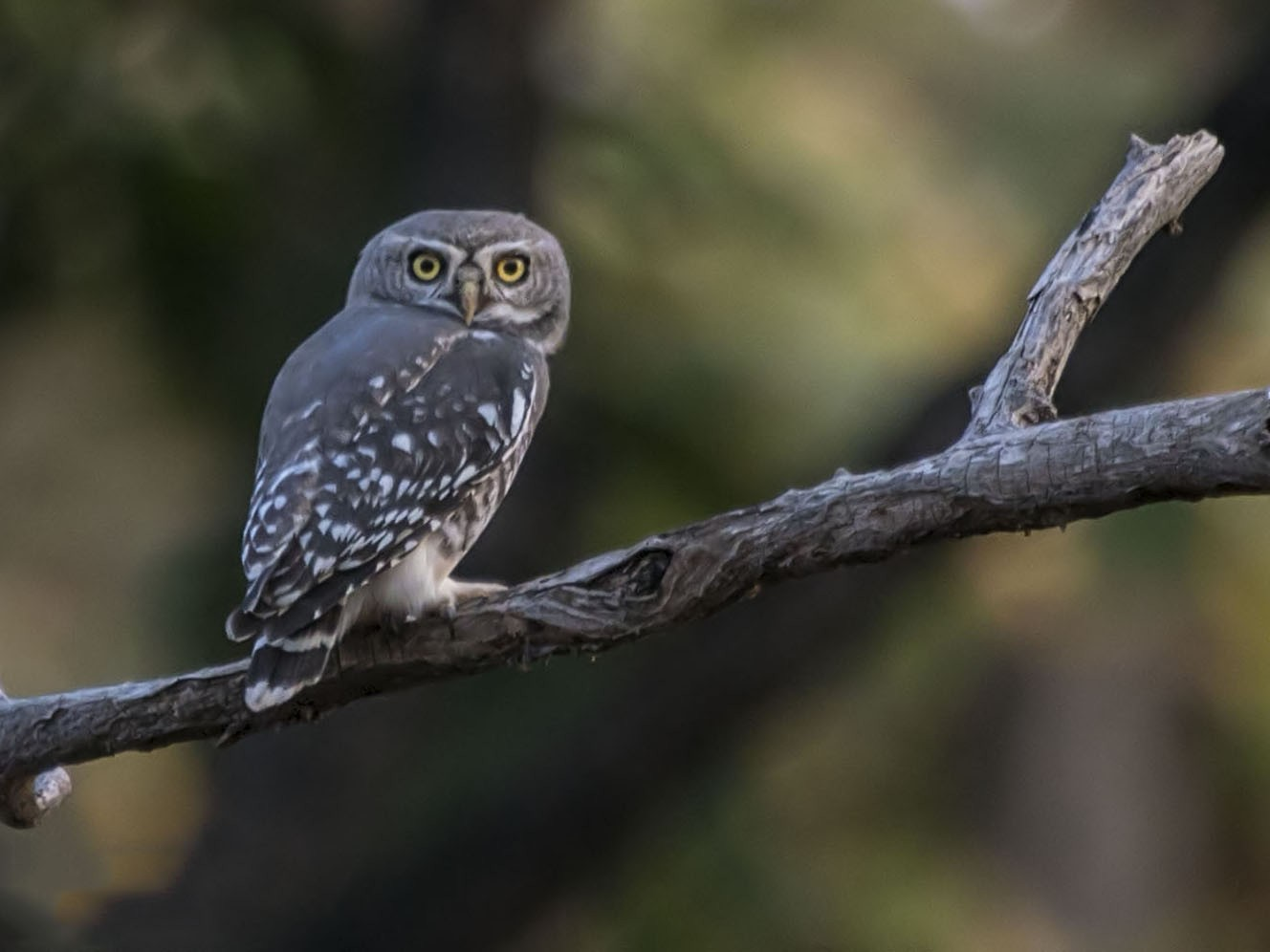 Forest Owlet - Rahul Kumar