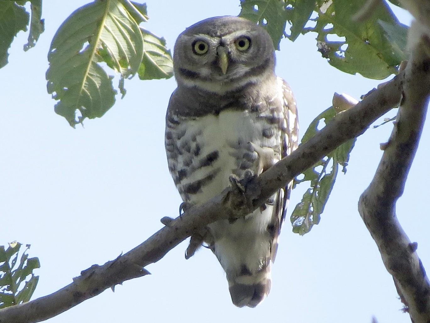 Forest Owlet - Billi Krochuk