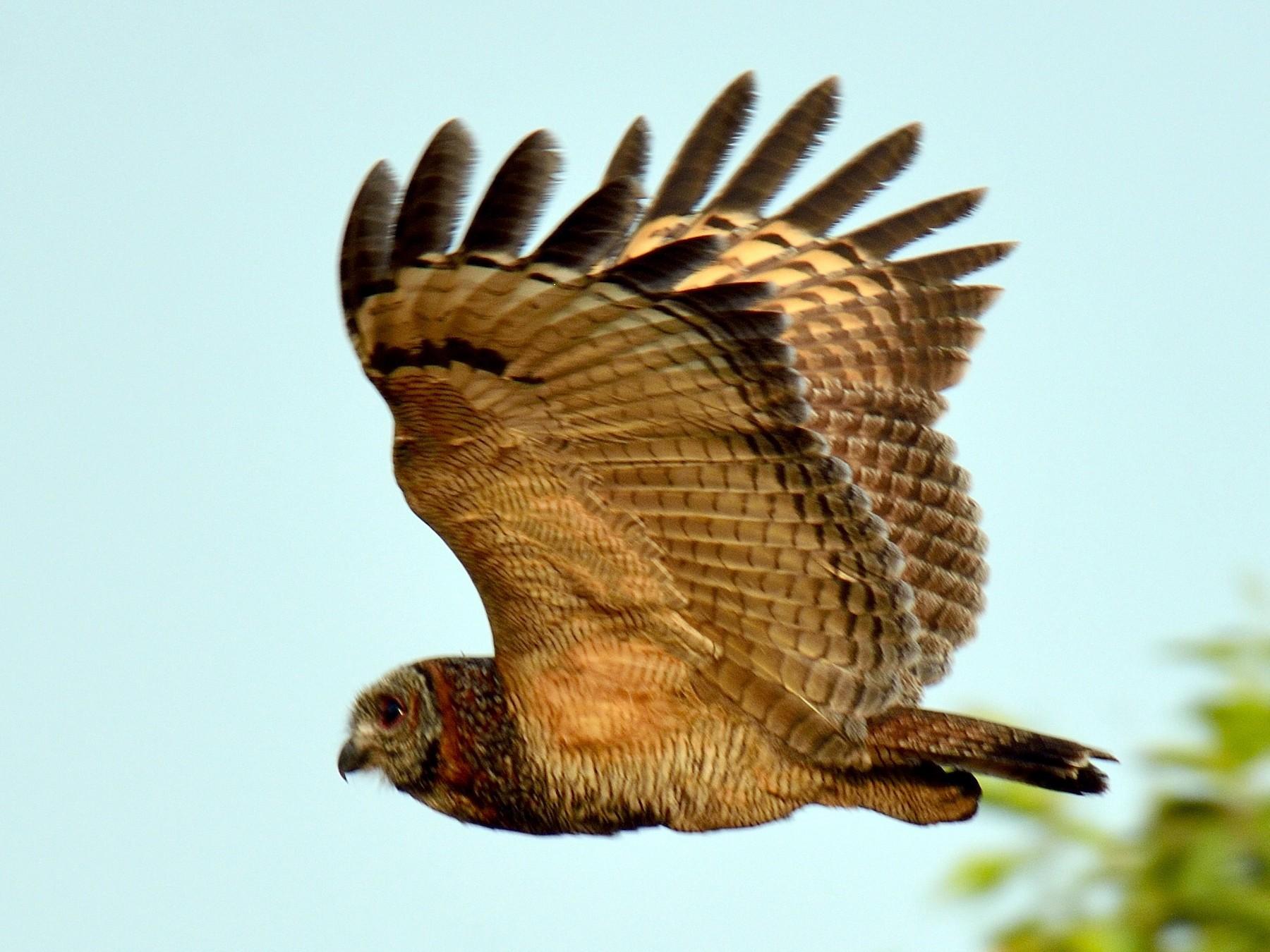 Mottled Wood-Owl - Snehasis Sinha
