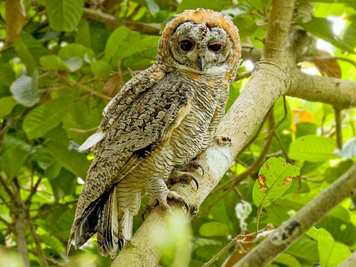 Mottled Wood-Owl - Arnold Goveas