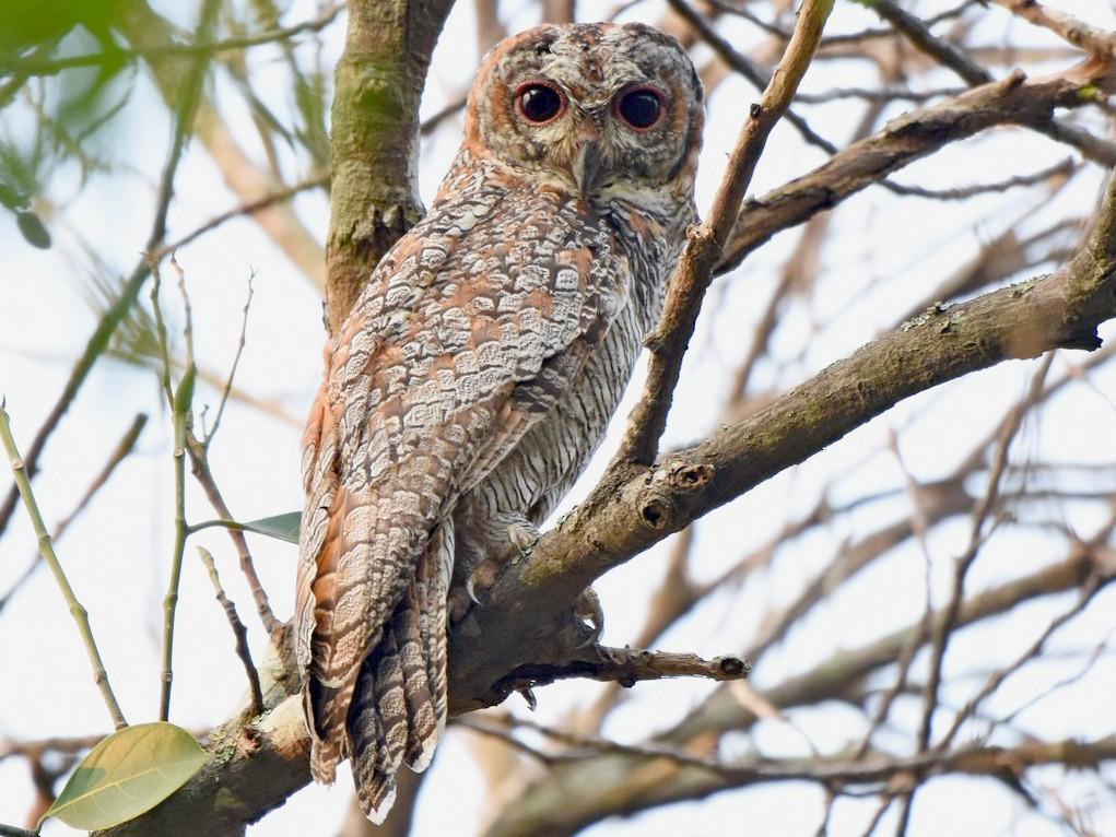 Mottled Wood-Owl - Rajesh Radhakrishnan
