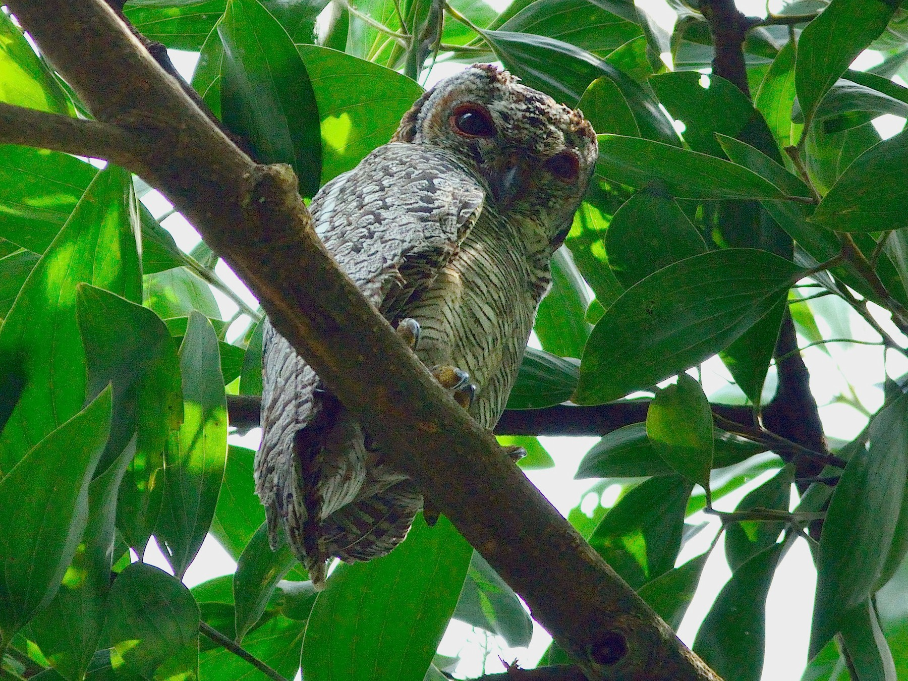 Mottled Wood-Owl - Savio Fonseca (www.avocet-peregrine.com)