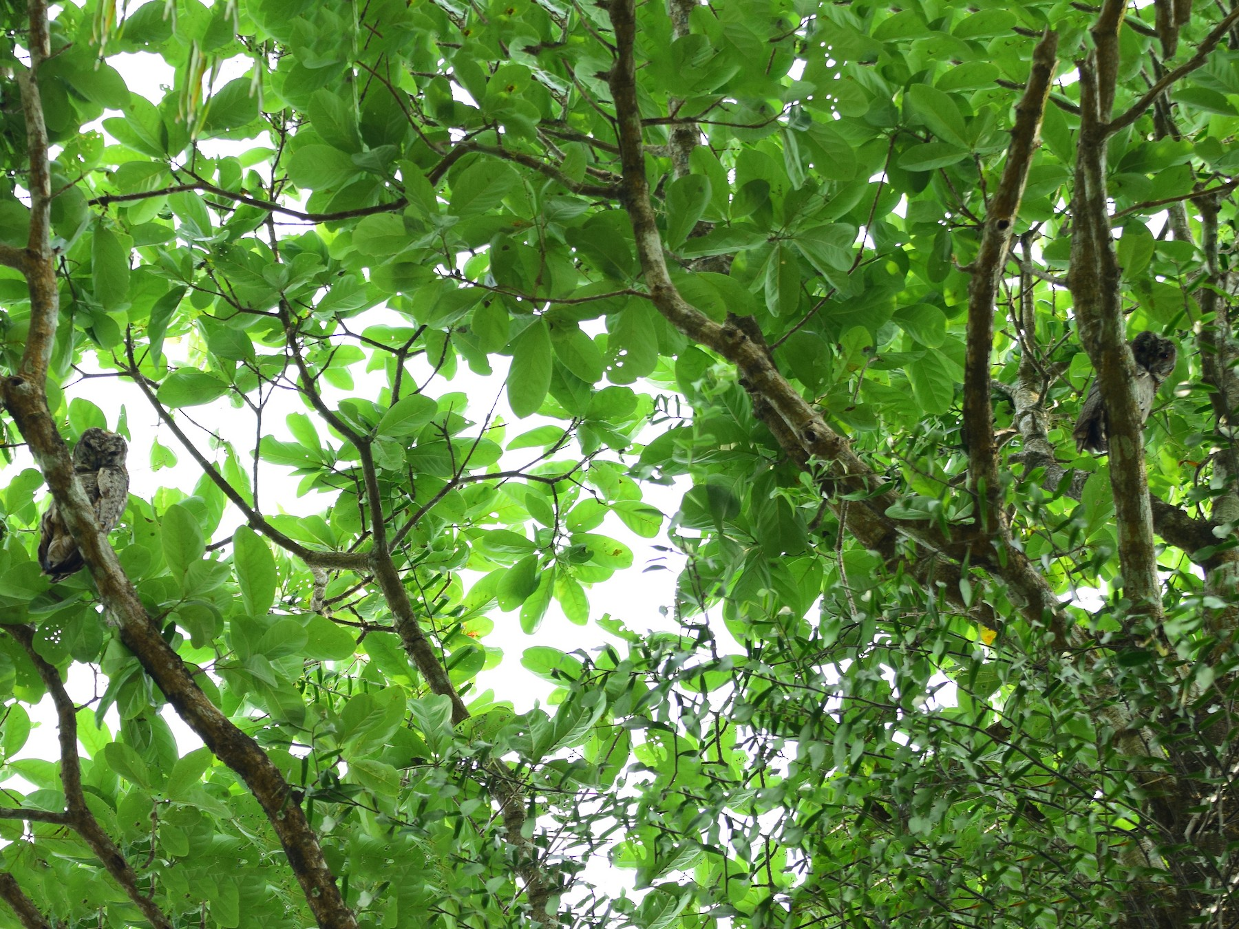 Mottled Wood-Owl - Lathika  K K