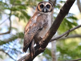 - Brown Wood-Owl