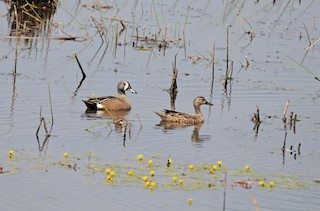 Blue-winged Teal, ML146030041