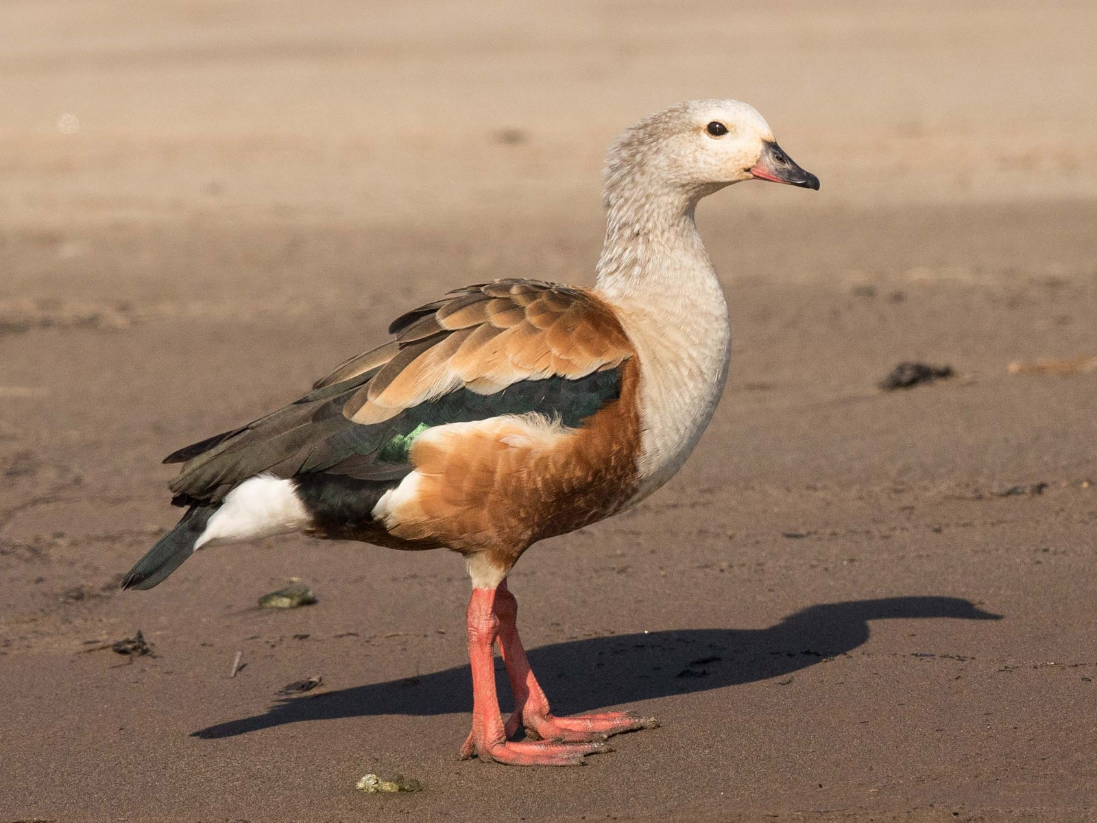 Orinoco Goose - Eric VanderWerf
