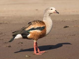 - Orinoco Goose