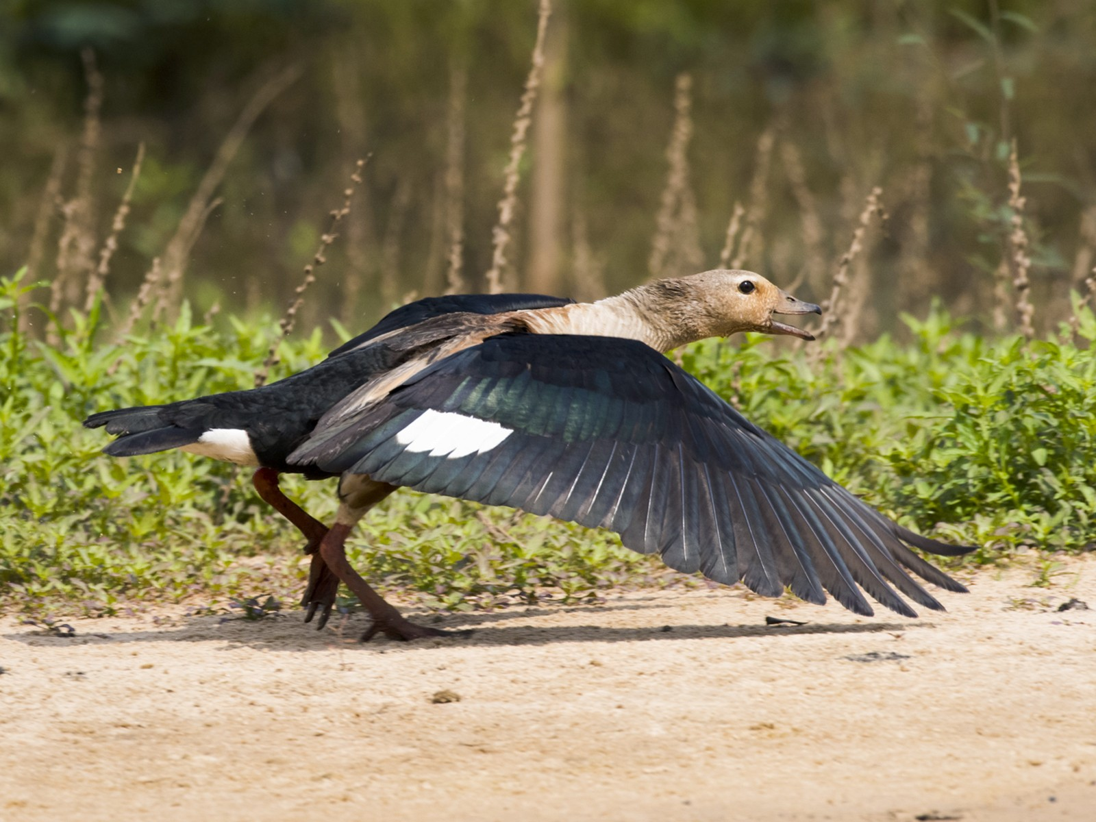 Orinoco Goose - Claudia Brasileiro