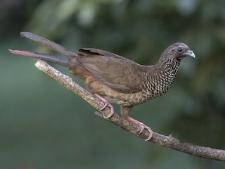 - Speckled Chachalaca