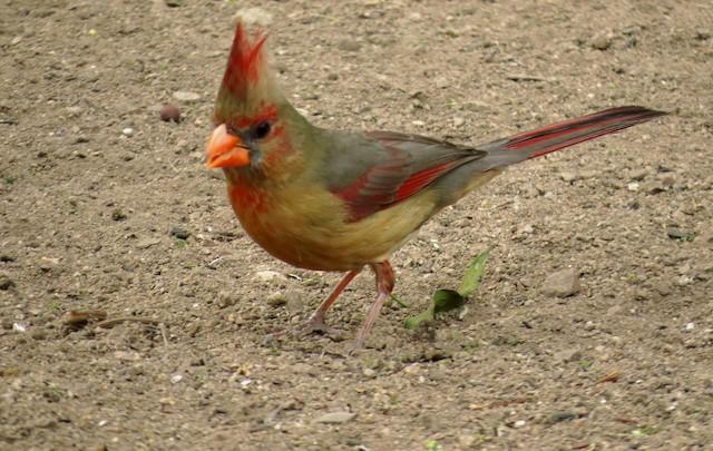 Female (presumably subspecies <em>affinis</em>).