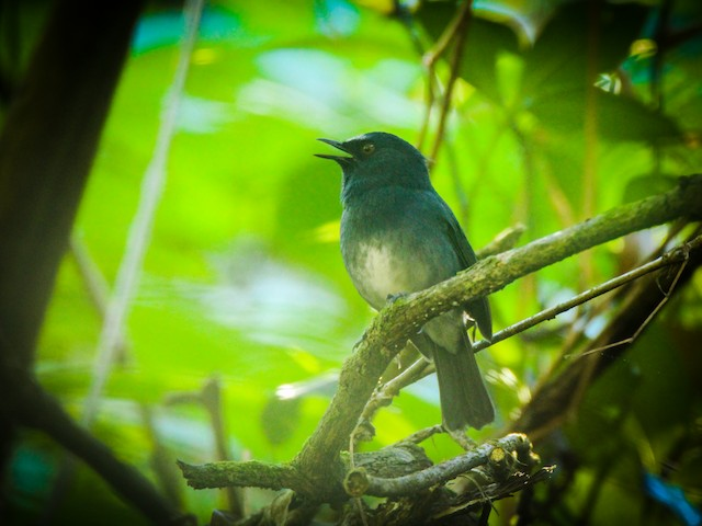 White-bellied Sholakili