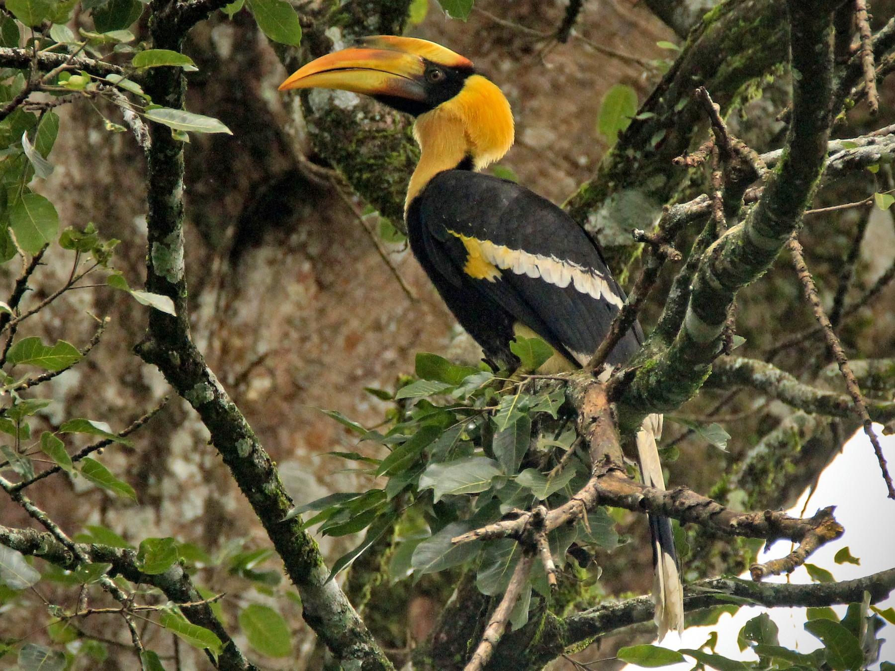 Great Hornbill - Vivek Sudhakaran