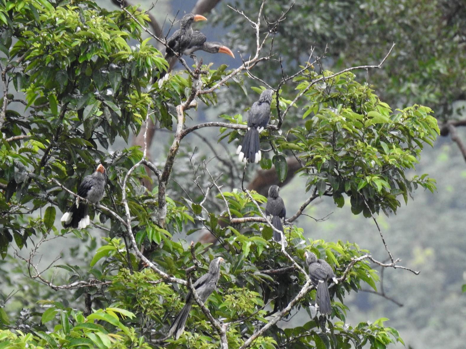 Malabar Gray Hornbill - Anonymous eBirder