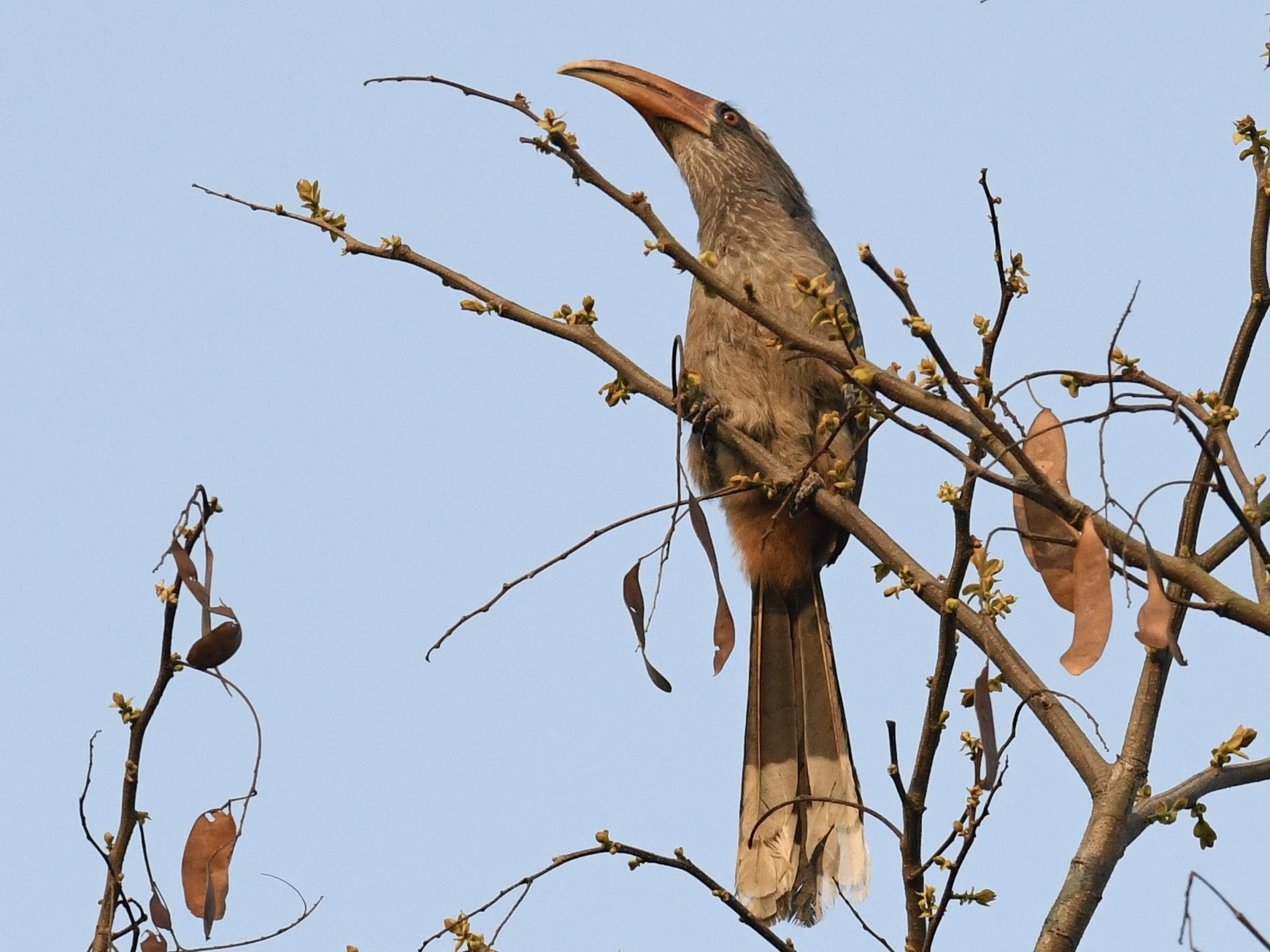 Malabar Gray Hornbill - Alan Van Norman