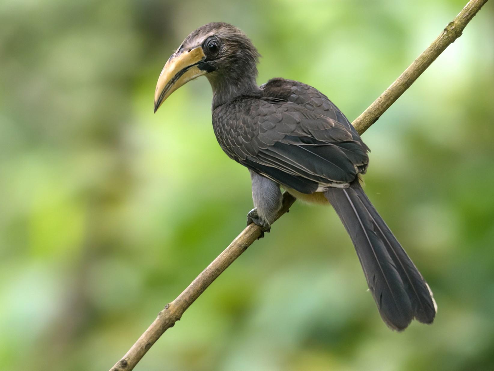 Malabar Gray Hornbill - Dilip C Gupta