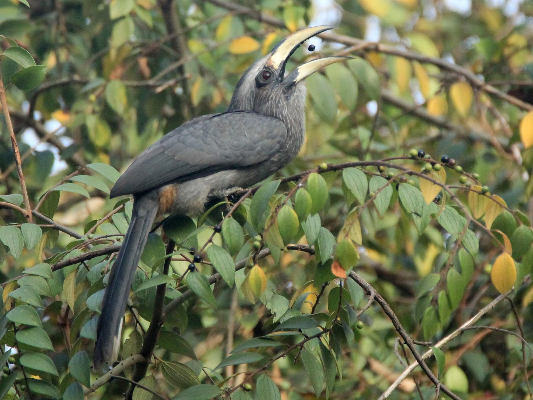 Malabar Gray Hornbill - Vivek Sudhakaran