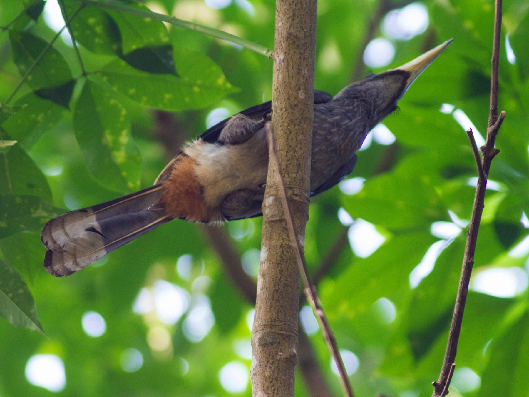 Malabar Gray Hornbill - Ashik Musicroom