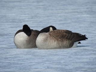 Canada Goose, ML146265411