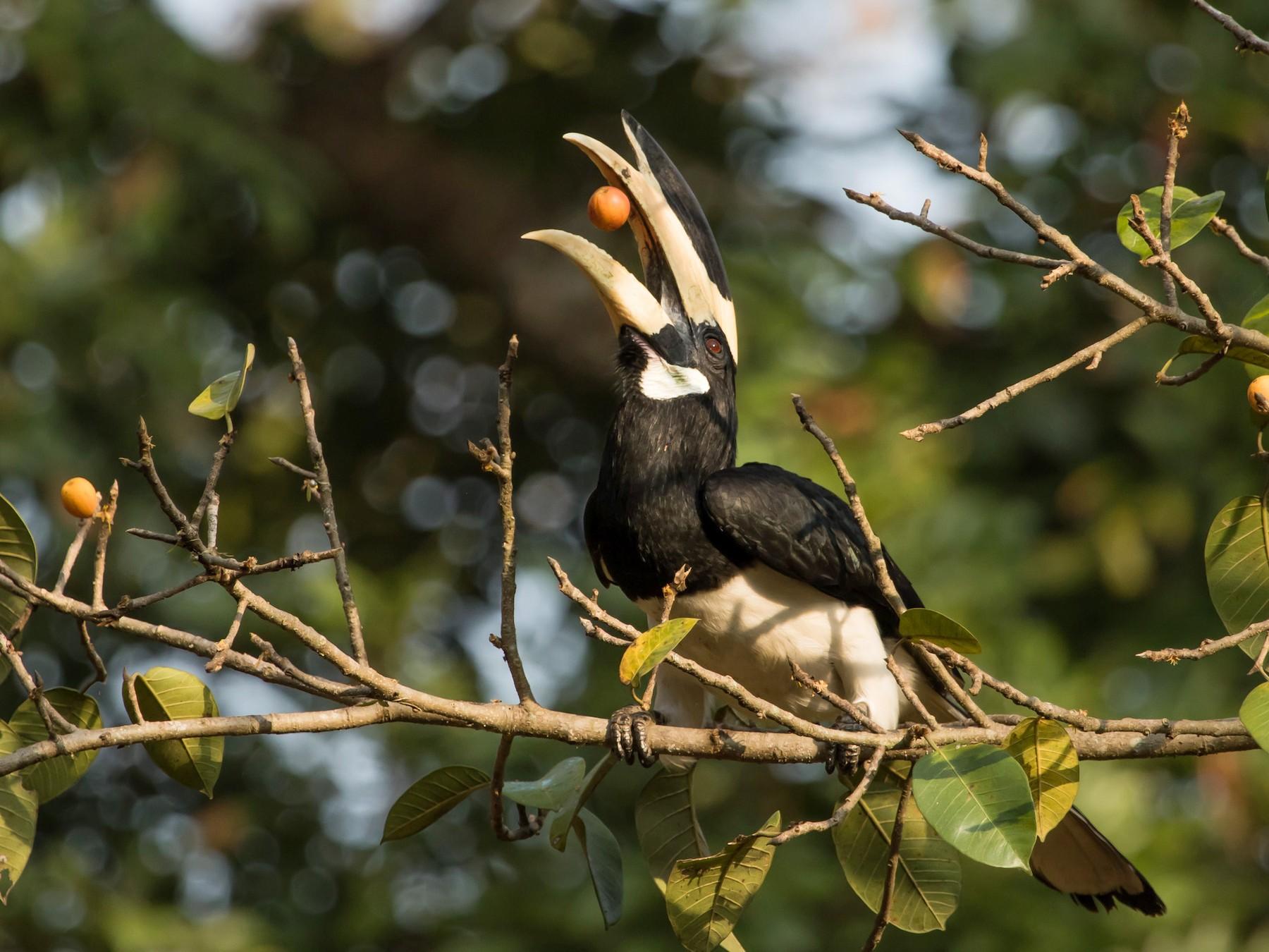 Malabar Pied-Hornbill - Uday Kiran