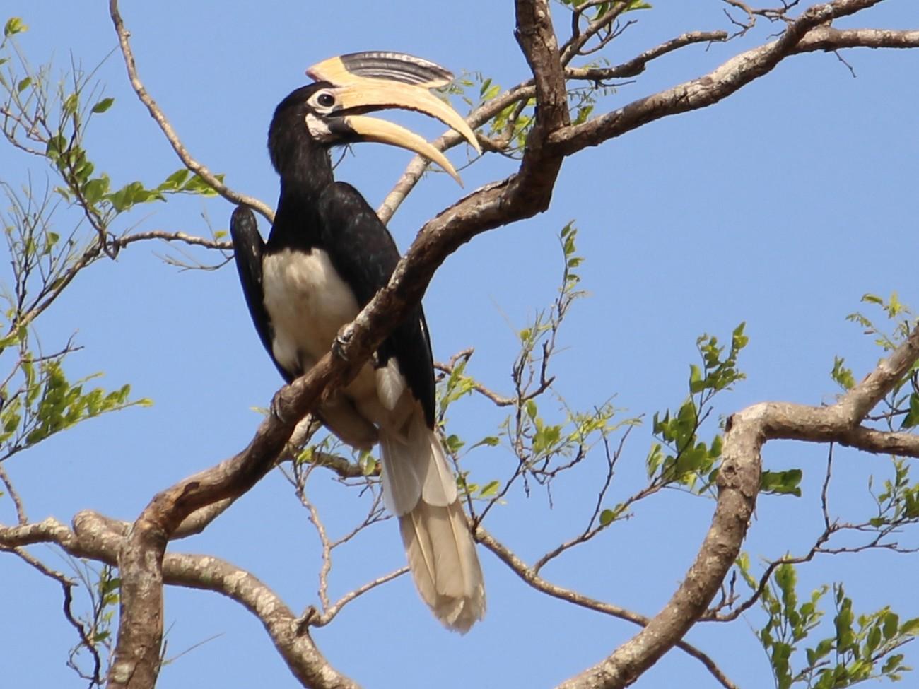 Malabar Pied-Hornbill - Kishore Raj D