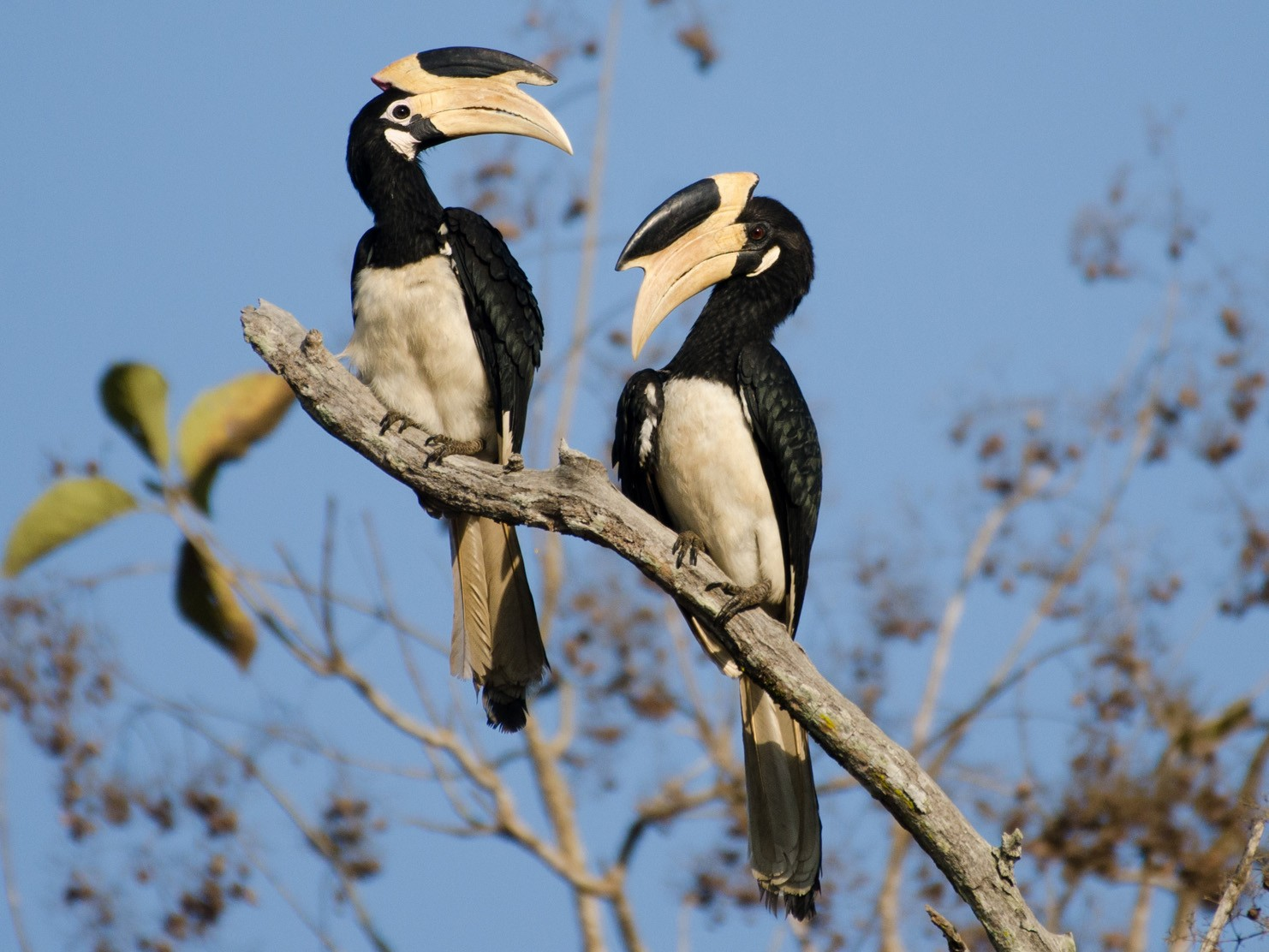 Malabar Pied-Hornbill - Abhiram Sankar