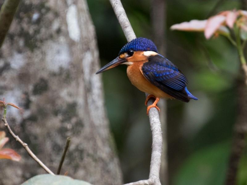 Blue-eared Kingfisher - Raphael Lebrun